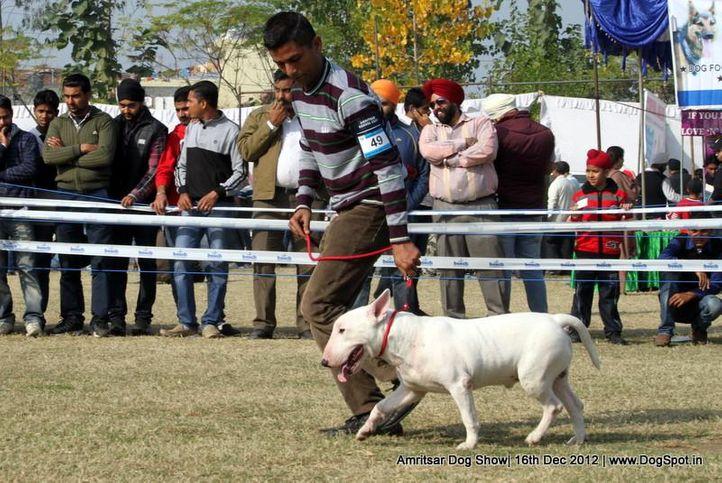 bull terrier,ex-49,sw-65,, ROMY, Bull Terrier, DogSpot.in