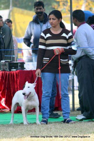bull terrier,ex-48,sw-65,, MAX, Bull Terrier, DogSpot.in