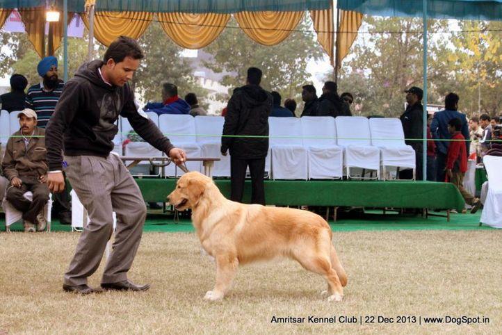 golden retriever,sw-100,, Amritsar Dog Show 2013, DogSpot.in