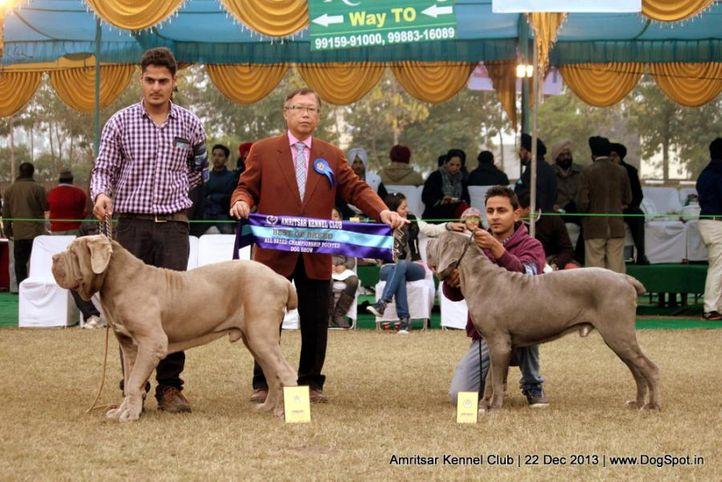 neapolitan mastiff,sw-100,, Amritsar Dog Show 2013, DogSpot.in