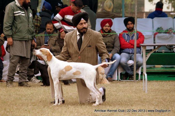 pointer,sw-100,, Amritsar Dog Show 2013, DogSpot.in