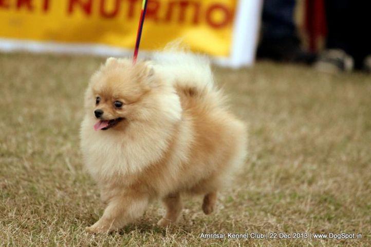 pom,pomeranian,sw-100,, Amritsar Dog Show 2013, DogSpot.in