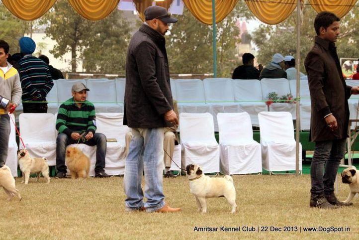 pug,sw-100,, Amritsar Dog Show 2013, DogSpot.in