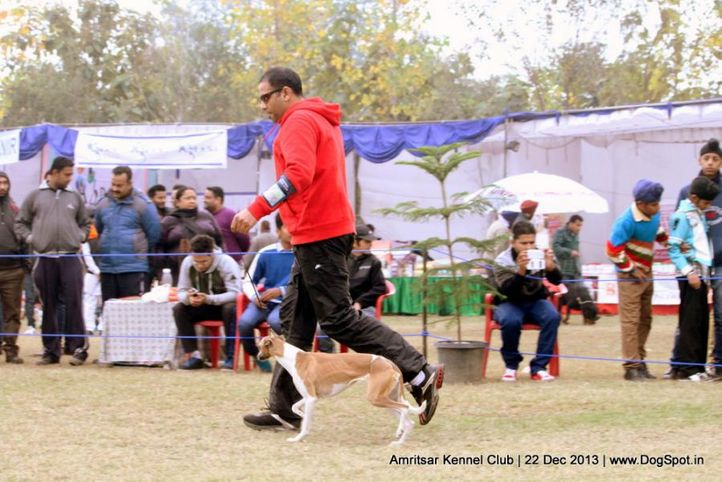 sw-100,whippet,, Amritsar Dog Show 2013, DogSpot.in