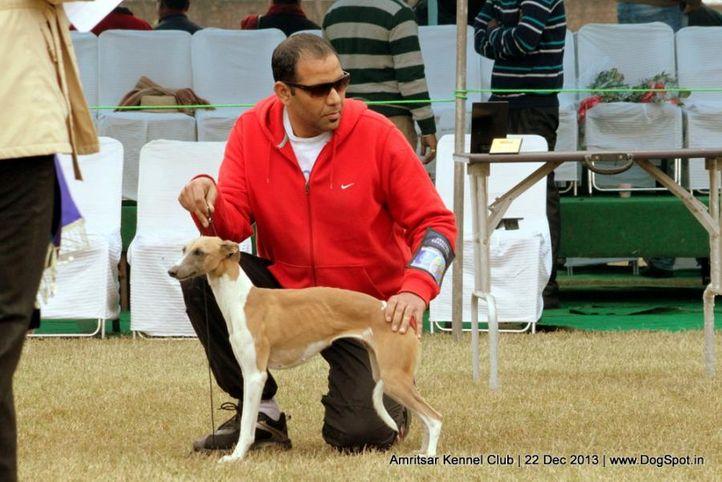 sw-100,whippet,, Amritsar Dog Show 2013, DogSpot.in