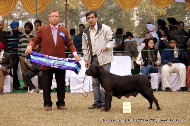 cane corso,sw-100,, Amritsar Dog Show 2013, DogSpot.in