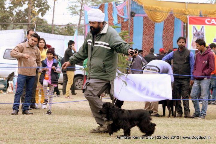 cocker spaniel,sw-100,, Amritsar Dog Show 2013, DogSpot.in