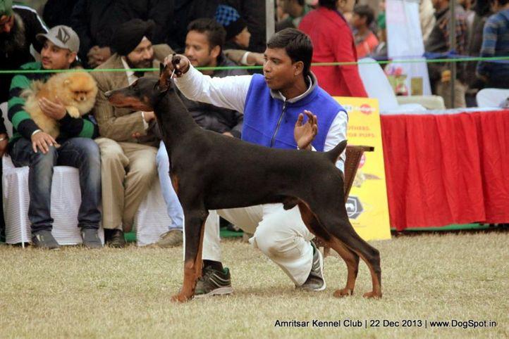dobermann pinscher,sw-100,, Amritsar Dog Show 2013, DogSpot.in