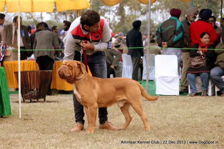 dogue de bordeaux,french mastiff,sw-100,, Amritsar Dog Show 2013, DogSpot.in