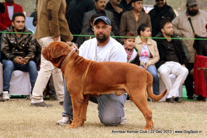 dogue de bordeaux,french mastiff,sw-100,, Amritsar Dog Show 2013, DogSpot.in