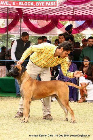 bull mastiff,ex-149,sw-136,, SHANKY S SHOW MUST CONTINUE, Bullmastiff, DogSpot.in