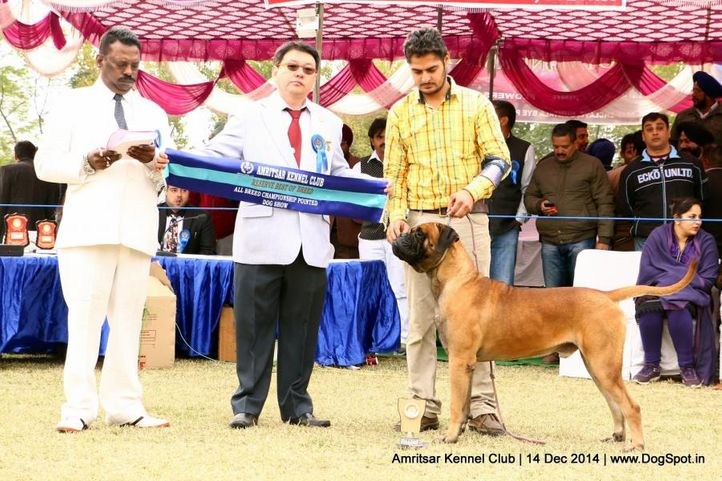 bull mastiff,reserve best in group,sw-136,, Amritsar Kennel Club, DogSpot.in