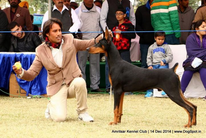 doberman pinscher,sw-136,, Amritsar Kennel Club, DogSpot.in
