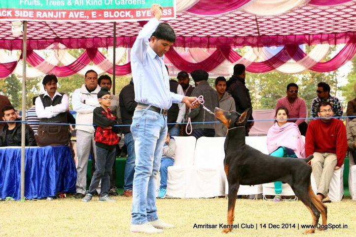 doberman pinscher,sw-136,, Amritsar Kennel Club, DogSpot.in