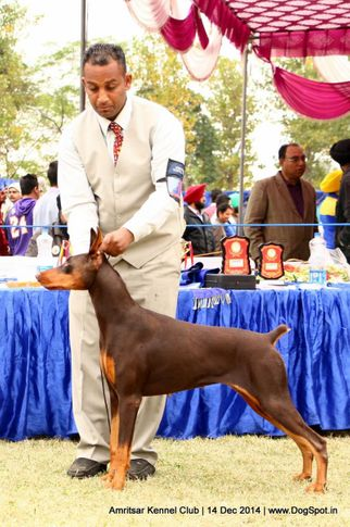 doberman pinscher,ex-160,sw-136,, SUSHI'S DATE WITH AN ANGELINA OF DOBBOXVILLE, Doberman Pinscher, DogSpot.in