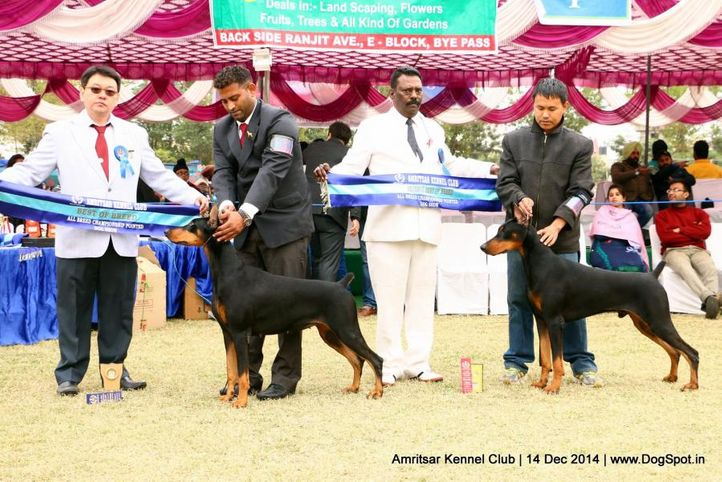 bob,doberman pinscher,rbob,sw-136,, Amritsar Kennel Club, DogSpot.in