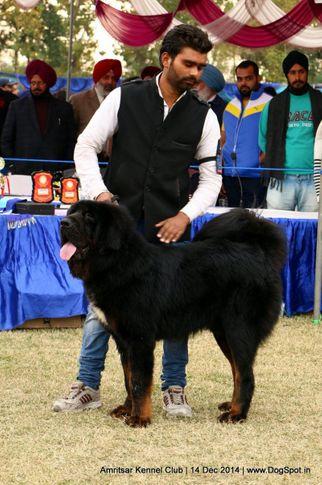 ex-220,sw-136,tibetan mastiff,, HERO, Tibetan Mastiff, DogSpot.in