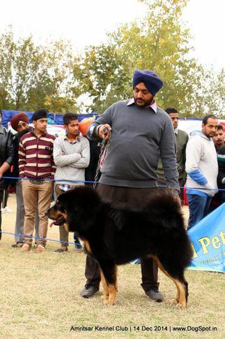 ex-219,sw-136,tibetan mastiff,, AMRAJ'S DASTY, Tibetan Mastiff, DogSpot.in