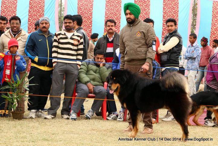 ex-230,sw-136,tibetan mastiff,, AMRAJ QUINN, Tibetan Mastiff, DogSpot.in