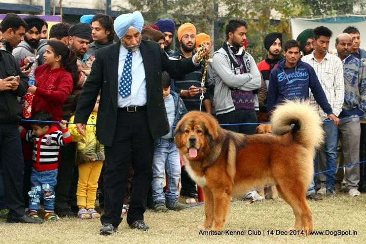 ex-223,sw-136,tibetan mastiff,, SARAS HIMALYAS CASPIAN, Tibetan Mastiff, DogSpot.in