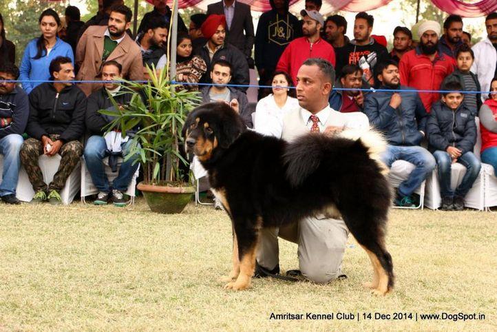 ex-231,sw-136,tibetan mastiff,, GUMTALA'S BRUNO, Tibetan Mastiff, DogSpot.in
