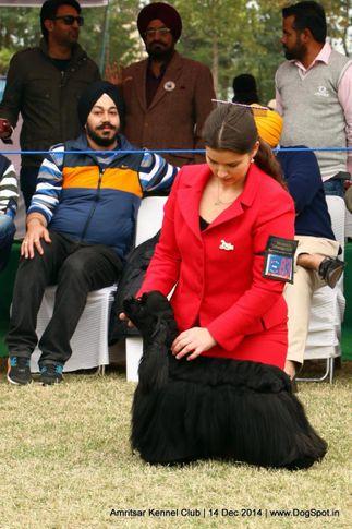 cocker spaniel- american,sw-136,, Amritsar Kennel Club, DogSpot.in