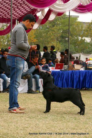 ex-117,labrador retriever,sw-136,, BLACK BEAUTIFUL, Labrador Retriever, DogSpot.in