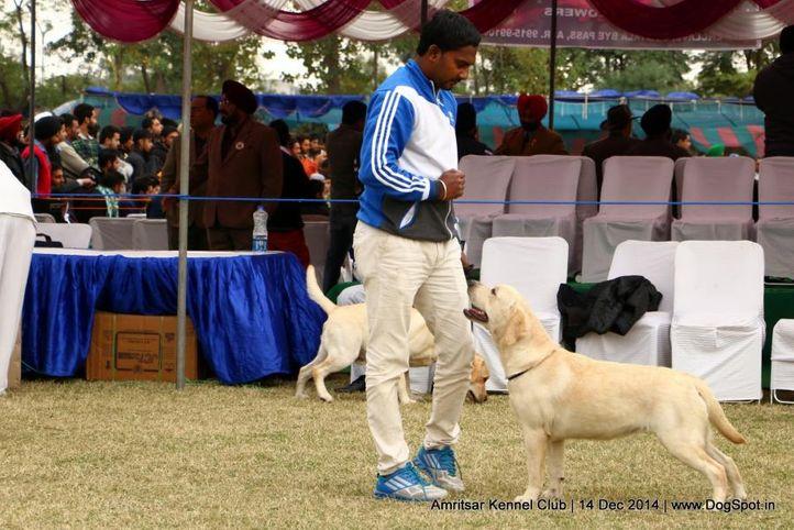 ex-112,labrador retriever,sw-136,, NEENA, Labrador Retriever, DogSpot.in