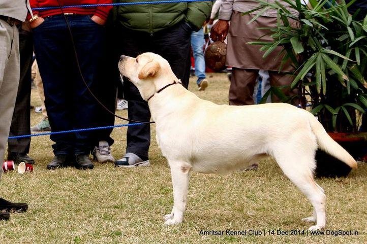 ex-118,labrador retriever,sw-136,, SAFFY, Labrador Retriever, DogSpot.in