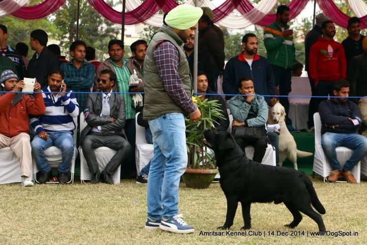 labrador retriever,sw-136,, Amritsar Kennel Club, DogSpot.in
