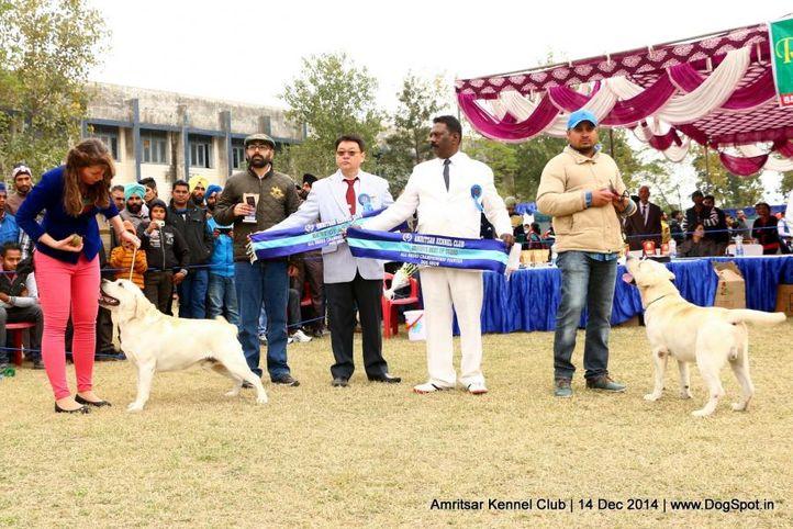 bob,labrador retriever,sw-136,, Amritsar Kennel Club, DogSpot.in