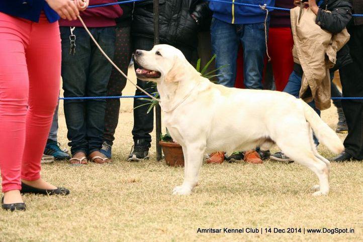 ex-128,labrador retriever,sw-136,, Devonshires Kasmanda Born To Win, Labrador Retriever, DogSpot.in