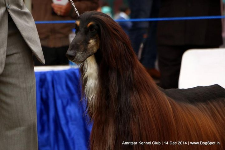 afghan hound,ex-62,sw-136,, JUST INTIME VON AGRANI, Afghan Hound, DogSpot.in