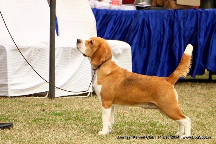beagle,ex-71,sw-136,, DHAWAN WOOD'S BLUE BELL'S QUICK GUN, Beagle, DogSpot.in