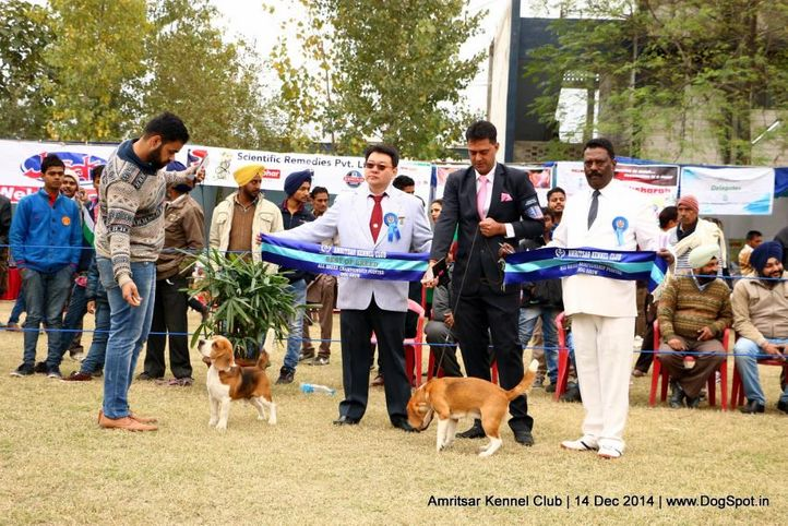 beagle,sw-136,, Amritsar Kennel Club, DogSpot.in