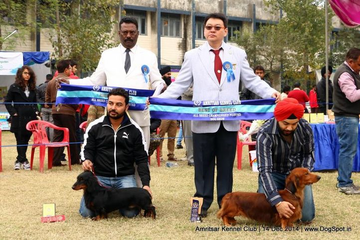 dachshund standard- long haired,sw-136,, Amritsar Kennel Club, DogSpot.in