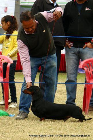 dachshund standard- smooth haired,ex-77,sw-136,, alex, Dachshund Standard- Smooth Haired, DogSpot.in