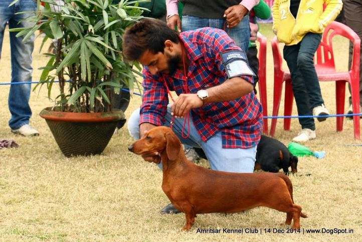 dachshund standard- smooth haired,ex-80,sw-136,, CHANJI'S GERANIUM, Dachshund Standard- Smooth Haired, DogSpot.in