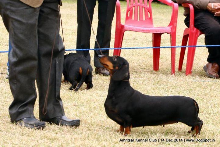 dachshund standard- smooth haired,ex-81,sw-136,, RAGVI'S GET CRAZY, Dachshund Standard- Smooth Haired, DogSpot.in