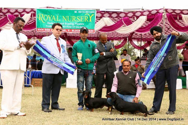 bob,dachshund standard- smooth haired,sw-136,, Amritsar Kennel Club, DogSpot.in