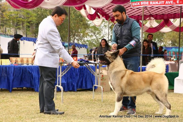 akita,ex-37,sw-136,, AM. CH. ALCHEMIST THEY WILL REMINISCE OVER YOU, Akita, DogSpot.in