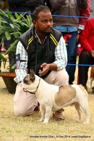 french bulldog,sw-136,, Amritsar Kennel Club, DogSpot.in