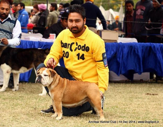 bull dog,sw-136,, Amritsar Kennel Club, DogSpot.in