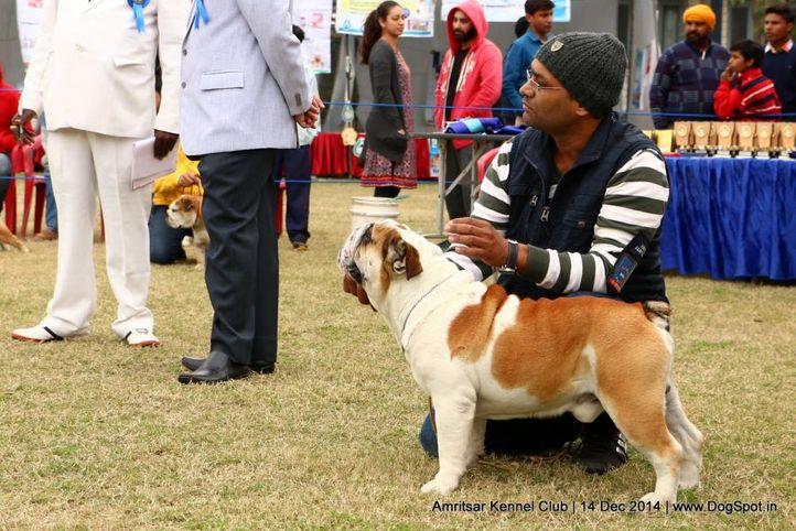 bull dog,ex-46,sw-136,, FREEDO, Bull Dog, DogSpot.in