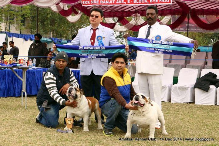 bull dog,sw-136,, Amritsar Kennel Club, DogSpot.in