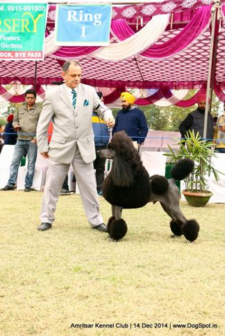 ex-55,poodle- standard,sw-136,, ARG CH BRAZ CH URU RISING STAR'S NEW YEAR OF PANIZZI, Poodle- Standard, DogSpot.in