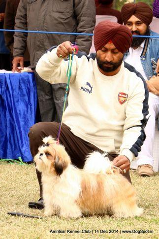 shih tzu,sw-136,, Amritsar Kennel Club, DogSpot.in