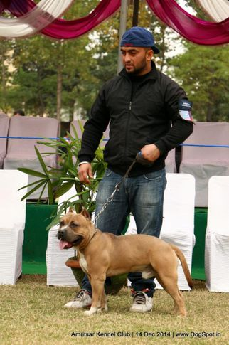 ex-35,staffordshire bull terrier,sw-136,, STONE COLD, Staffordshire Bull Terrier, DogSpot.in