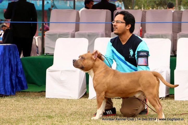 ex-36,staffordshire bull terrier,sw-136,, ROSE, Staffordshire Bull Terrier, DogSpot.in