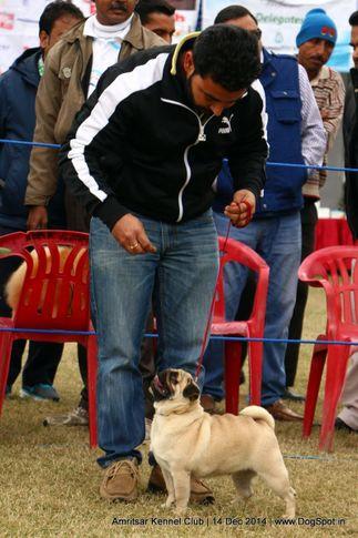 pug,sw-136,, Amritsar Kennel Club, DogSpot.in